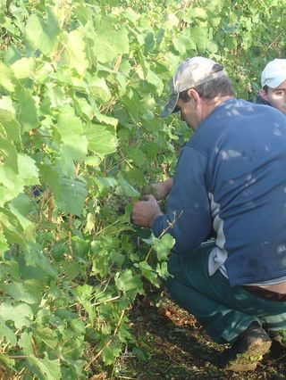 First Pickers at Villers-Marmery 2