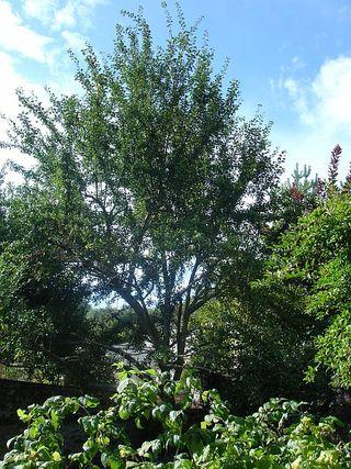 Plum Tree in Mme Dorigny's garden