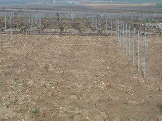 Vines just planted